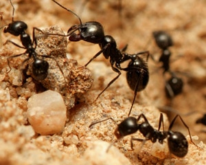 Ants working on an anthill