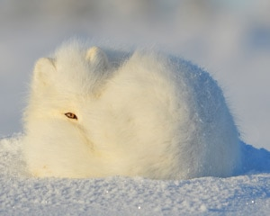 Camouflaged white furry animal